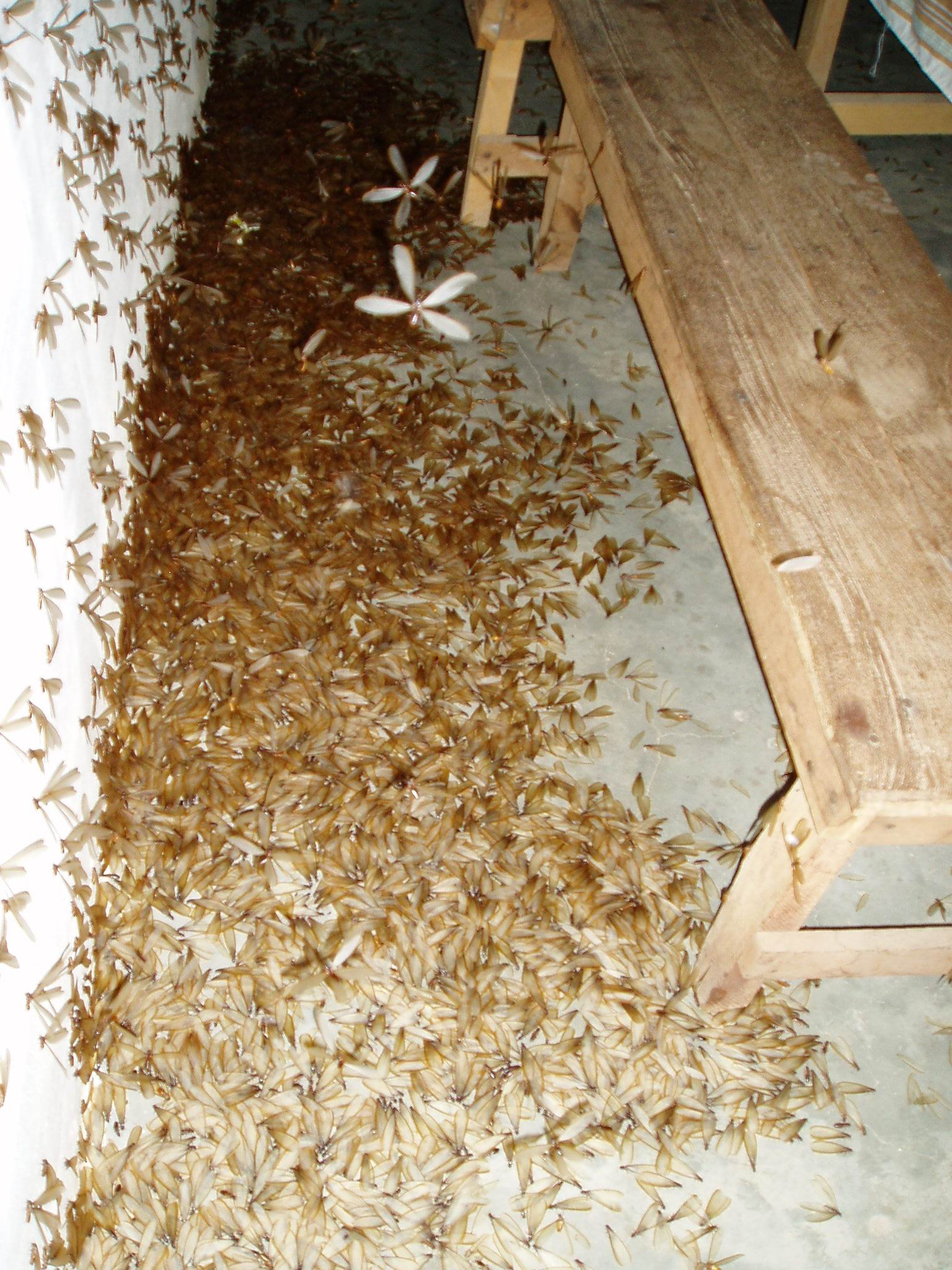 how to know if there are termites in your house