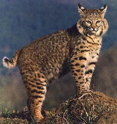 beautiful-bobcat