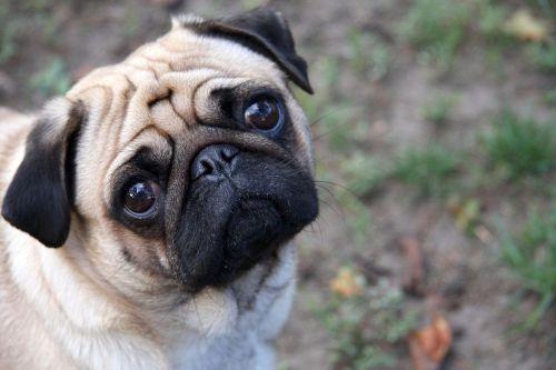 1280px-Sad-pug